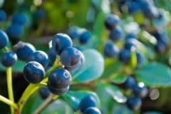 japanese-blueberry-hedge