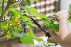 mulberry-pruning