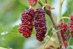 mulberry-tree-facts