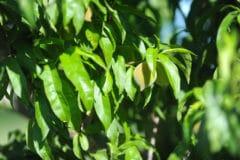 peach-tree-leaves