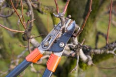 peach-tree-pruning