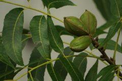 pecan-leaf