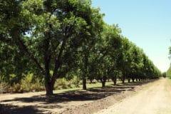 pecan-tree-care