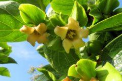 persimmon-flower