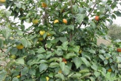 persimmon-tree-care