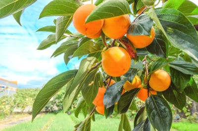 persimmon-tree-facts