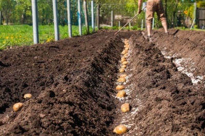 planting-potatoes-in-the-fall