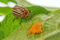 potato-bug-larvae