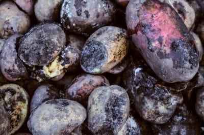 potato-fungus