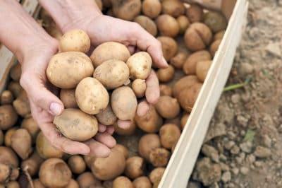 potato-growth