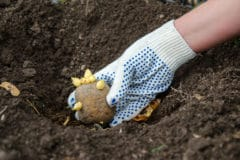 potato-planting-tips