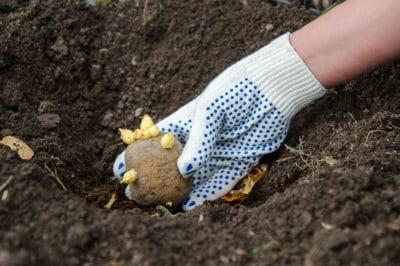 potato-planting-tips