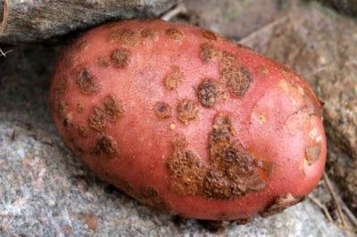 potato-scab