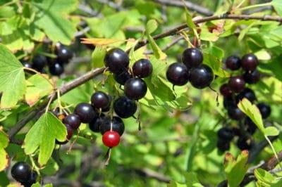 pruning-jostaberry