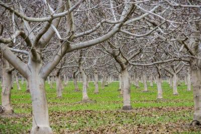 pruning-pecan-trees