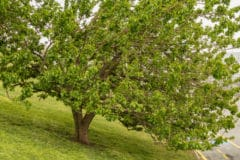 title-mulberry-tree-identification