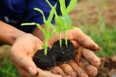 transplanting-corn