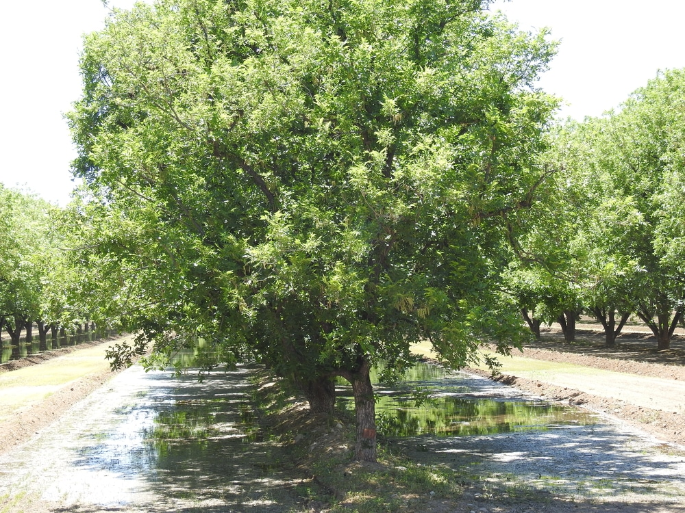 What Does A Pecan Tree Look Like Top Facts