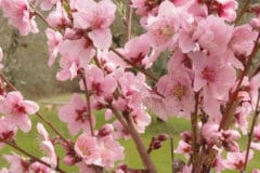 when-do-peach-trees-bloom