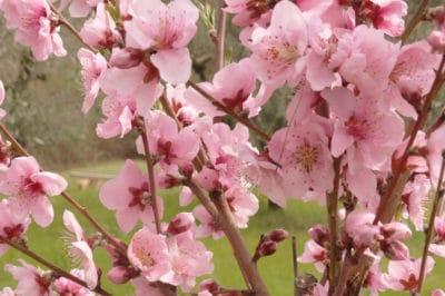 when-do-peach-trees-bloom