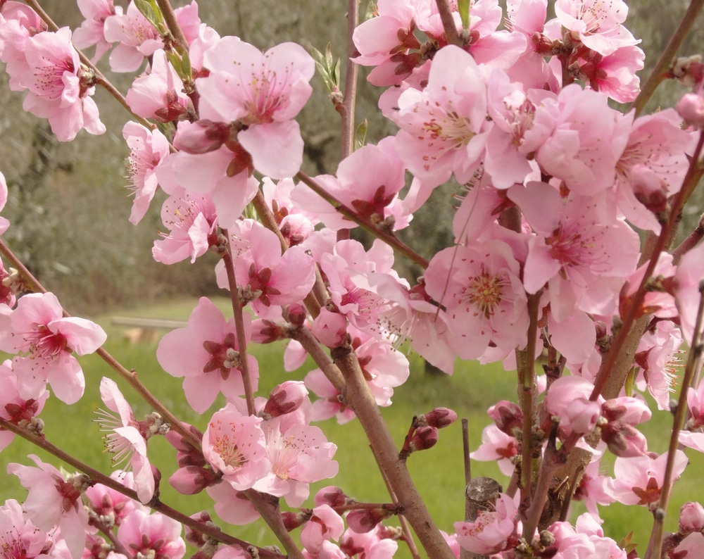 When Do Peach Trees Bloom All The Facts
