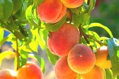 when-is-a-peach-ripe