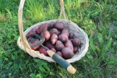 when-to-harvest-red-potatoes