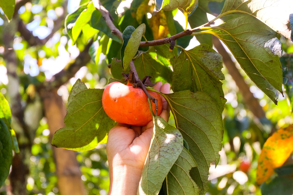 When To Pick Persimmons