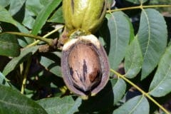 where-are-pecans-grown