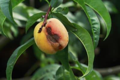 black-spots-on-peaches