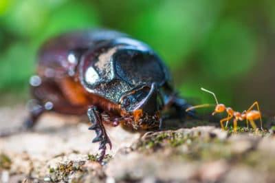 coconut-beetle