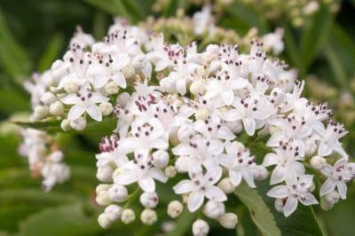 elderberry-flower