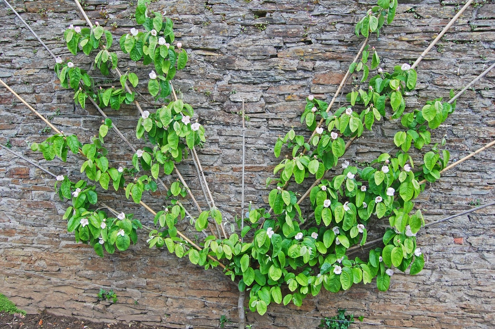 Quince Espalier All The Top Tips