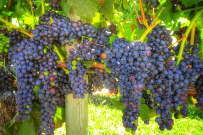 grape-vine-care