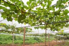 grape-vine-trellis