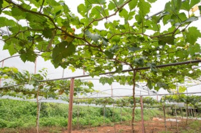 grape-vine-trellis