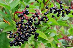 growing-elderberries