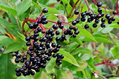 growing-elderberries