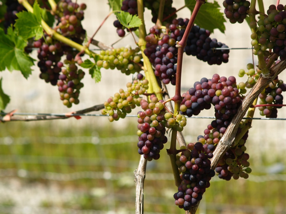 Growing Grapes » Tips to Channel Your Inner Farmer