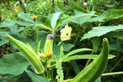 growing-okra