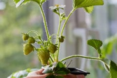 growing-strawberries-indoors