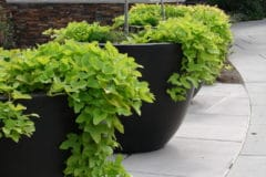growing-sweet-potatoes-in-containers
