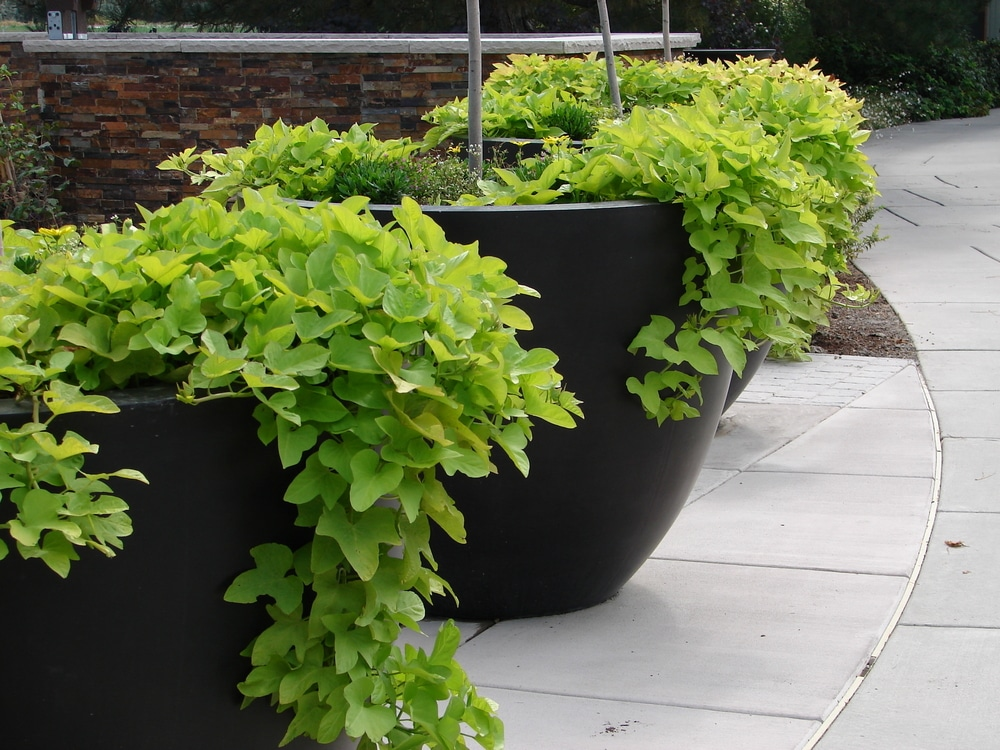 Growing Sweet Potatoes In Containers Top Tips