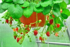 hanging-strawberry-planter