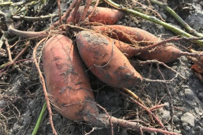 harvesting-sweet-potatoes