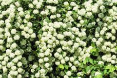 hawthorn-hedge