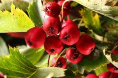 hawthorn-tree-berries