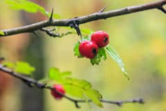 hawthorn-tree-thorns