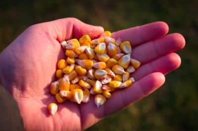 how-deep-to-plant-sweet-corn