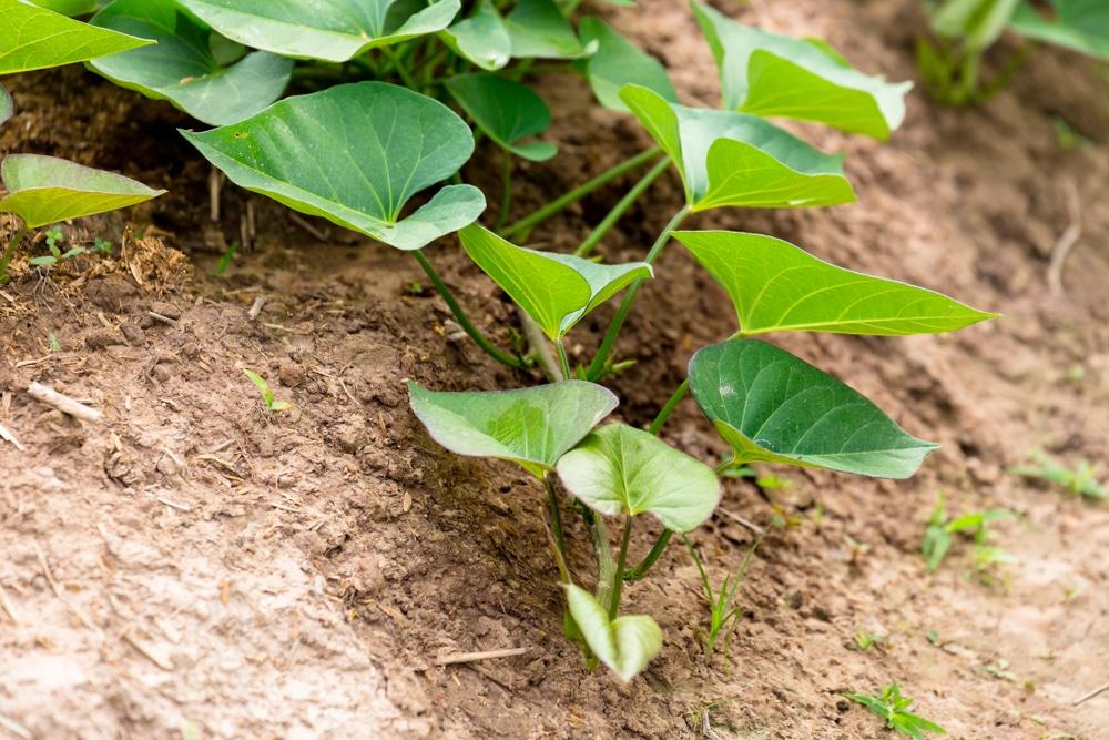 How Long Do Sweet Potatoes Take To Grow Garden Eco
